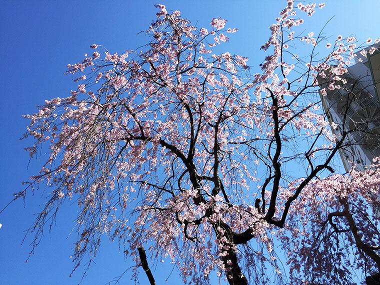 大乗山 経王寺 桜